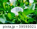 陽明山竹子湖海芋季 Calla lily season in Yangmingshan Taiwan 39593021