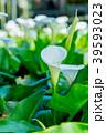 陽明山竹子湖海芋季 Calla lily season in Yangmingshan Taiwan 39593023