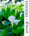 陽明山竹子湖海芋季 Calla lily season in Yangmingshan Taiwan 39593024