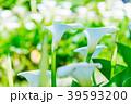 陽明山竹子湖海芋季 Calla lily season in Yangmingshan Taiwan 39593200