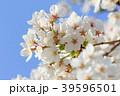 桜と青空 39596501