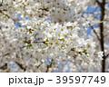桜と青空 39597749
