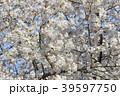 桜と青空 39597750