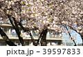 桜 39597833