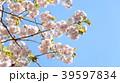 桜 39597834