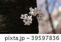 桜 39597836