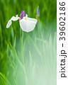 植物 花 花菖蒲の写真 39602186