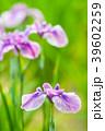 植物 花 花菖蒲の写真 39602259
