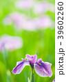 植物 花 花菖蒲の写真 39602260
