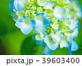植物 花 あじさいの写真 39603400