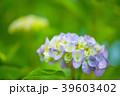 植物 花 あじさいの写真 39603402