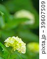 植物 花 あじさいの写真 39607509