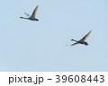 Migrating whooper swans 39608443