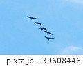 Formation of flying Common Cranes 39608446