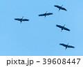 Migrating Common Cranes 39608447