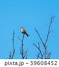 Sunlit Linnet songbird on a twig 39608452