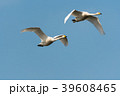 Pair of flying white swans 39608465