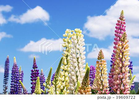 ラッセルルピナス 背景素材 イメージ素材 花畑 39609722