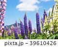 花畑 ラッセルルピナス ルピナスの写真 39610426