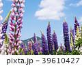 花畑 ラッセルルピナス ルピナスの写真 39610427