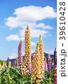 花畑 ラッセルルピナス ルピナスの写真 39610428