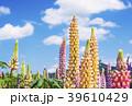 花畑 ラッセルルピナス ルピナスの写真 39610429
