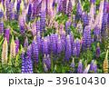 花畑 ラッセルルピナス ルピナスの写真 39610430
