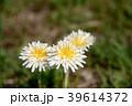 春の日差しと野原のシロバナタンポポ 39614372