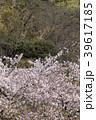 花 桜 桜吹雪の写真 39617185