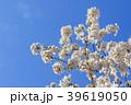 桜と青空 39619050