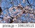 桜 枝垂れ桜 糸桜の写真 39619515