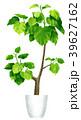 観葉植物_ウンベラータ 39627162