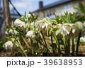 花 クリスマスローズ ヘレボラスの写真 39638953