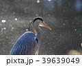 鳥 鷺 蒼鷺の写真 39639049