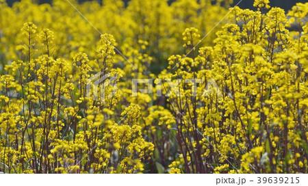 紅菜台の黄色の花が咲く 39639215