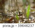 ギフチョウ 蝶 昆虫の写真 39646237