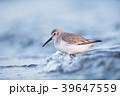 ハマシギ シギ 鳥の写真 39647559