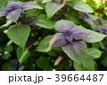 紫蘇の葉 39664487
