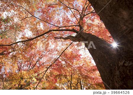 紅葉と太陽 (兵庫県宍粟市山崎町) 39664526