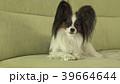 ぱぴよん パピヨン かわいいの写真 39664644