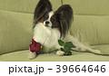 ぱぴよん パピヨン 可愛いの写真 39664646