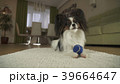 ぱぴよん パピヨン かわいいの写真 39664647