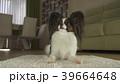 ぱぴよん パピヨン 可愛いの写真 39664648