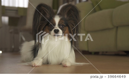 Dog Papillon lies on the floor in living room 39664649