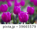 植物 花 チューリップの写真 39665579