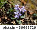 スミレ 花 紫色の写真 39668729