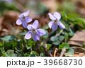 スミレ 花 紫色の写真 39668730