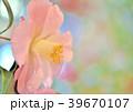 椿 花 植物の写真 39670107