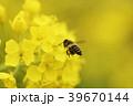 春の風景 春 菜の花 なのはな なの花 ナノハナ ミツバチ みつばち ニホンミツバチ コピースペース 39670144