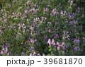 ホトケノザ 野草 花の写真 39681870